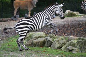 Zebra Sprung