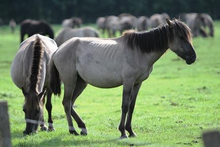 Wann ist ein Pferd zu dünn?