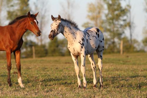 Die Führung von Pferden und schwarzen Schafen
